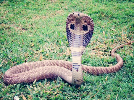 king-cobra-405623__340